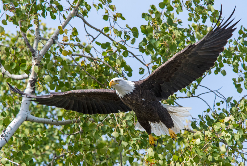 Bald Eagle at Cross Lake©LeeHatfield2016