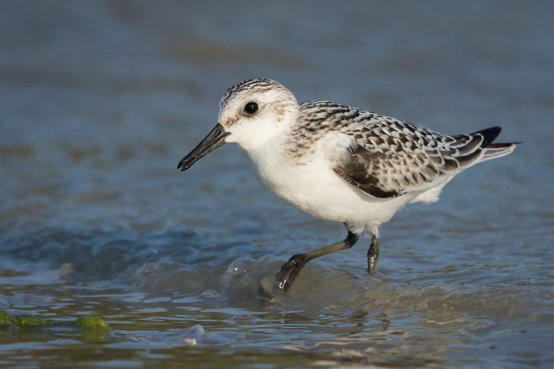 Sanderling and Wave