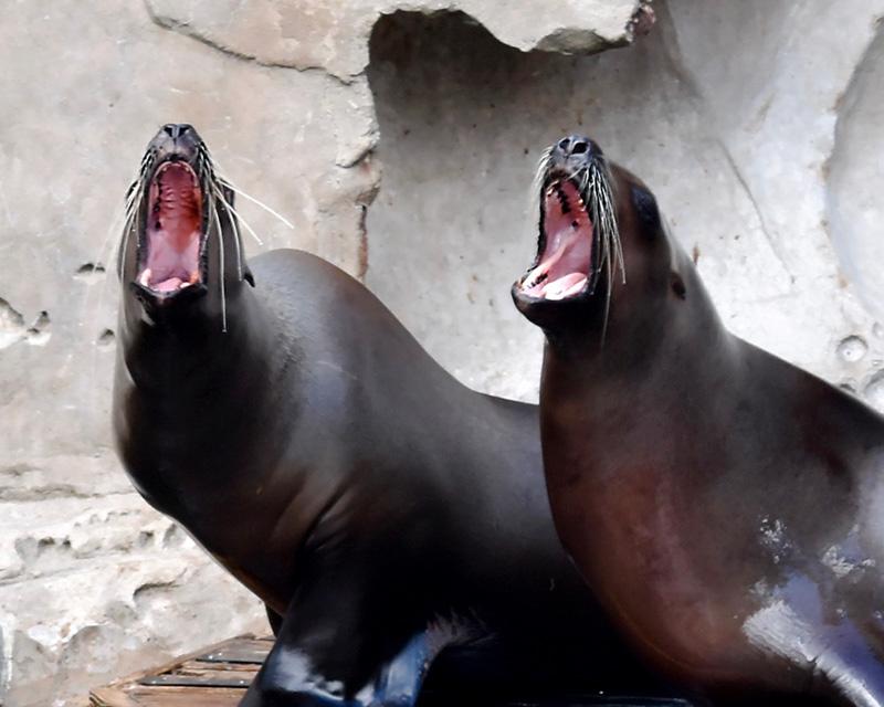 Seal Symphony
