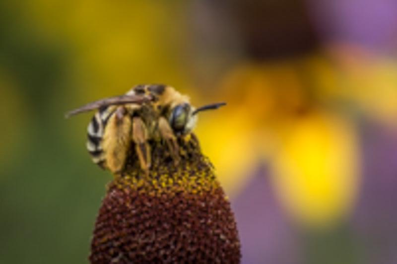 Connemara Pollinator