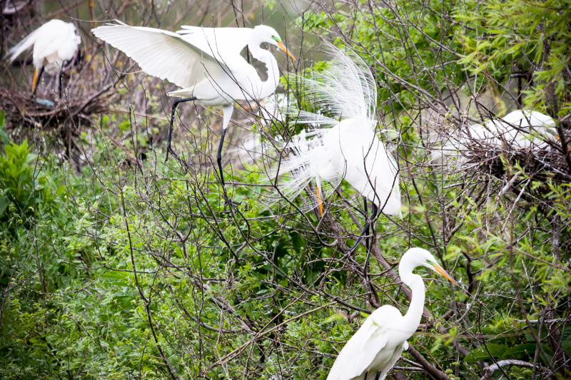 Life of Egrets in High Island Rookery