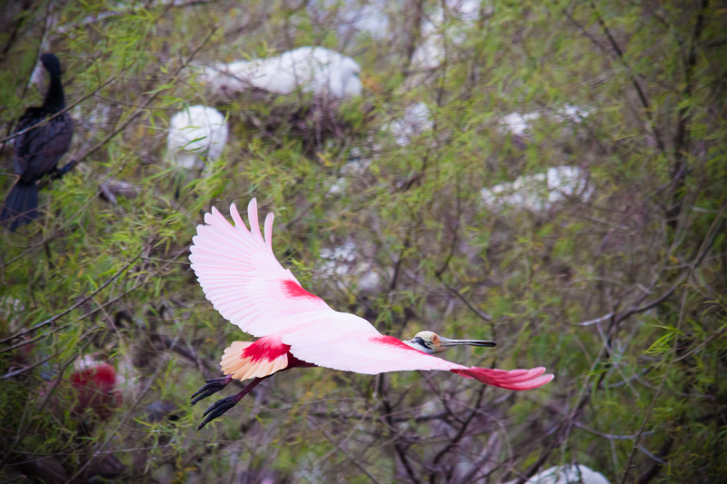 Roseate Spoonbill Flight to the Rookery