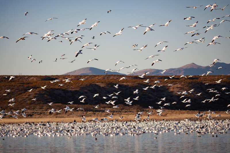 Snowing Snow Geese