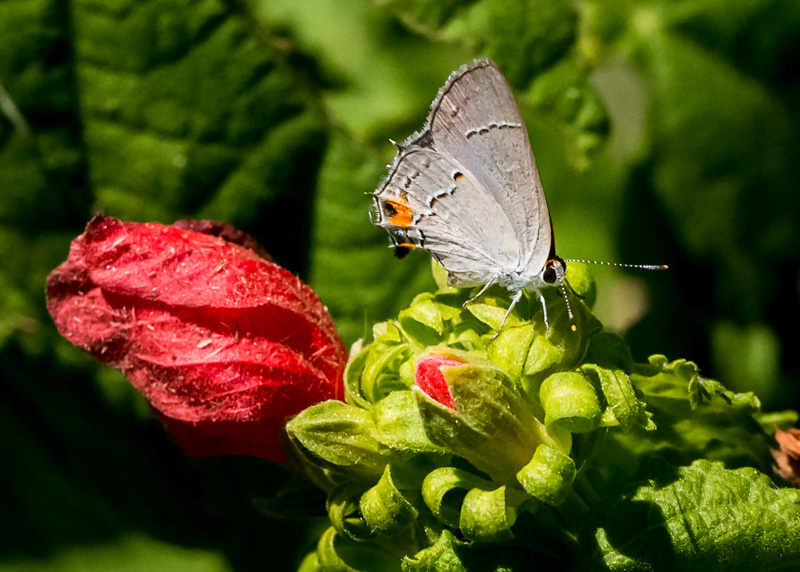 Hibiscus with a Hairstreak