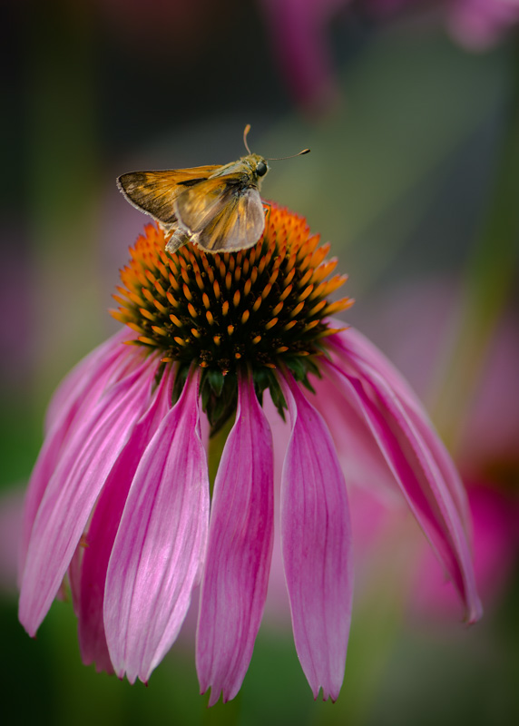 Skipper & Cone Flower