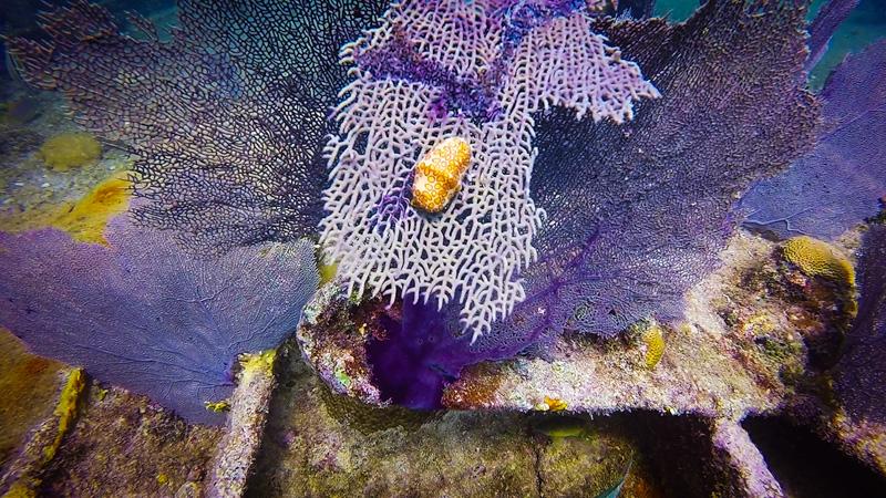 Fan Coral Snail