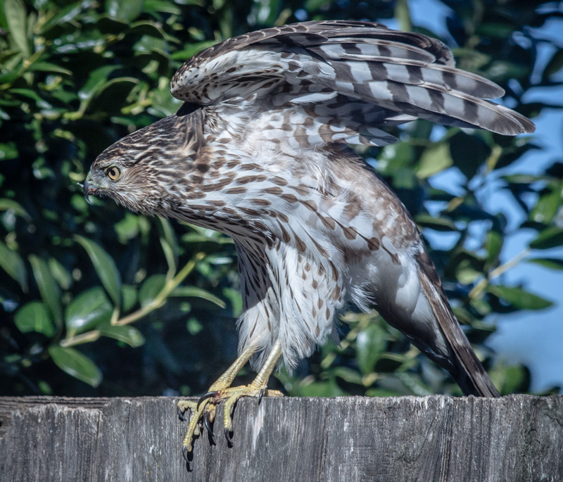 Wild Cooper's Hawk Checking out Backyard Birds
