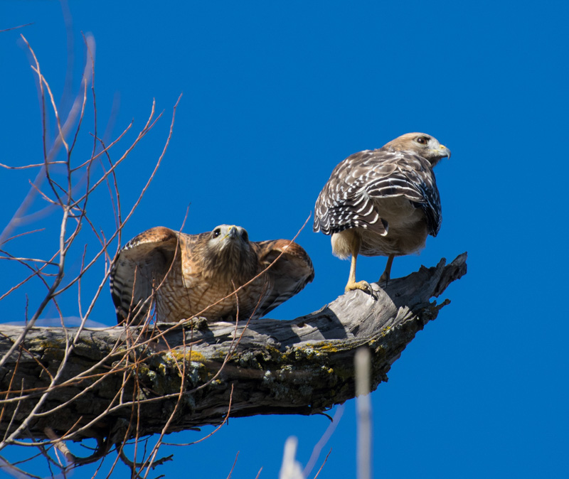 Double Hawks