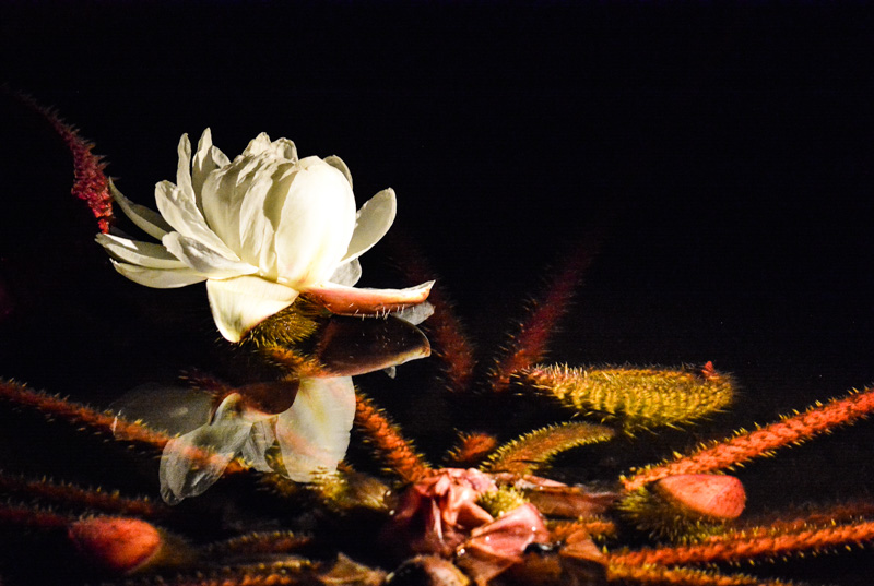 © Suzonne Evans ~ Water Lily Illumination