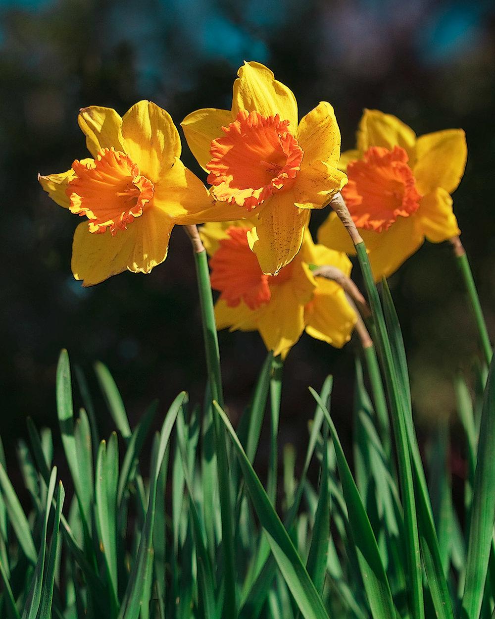 02-2019 Daffodil #3.jpg