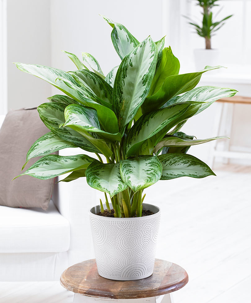 The Chinese Evergreen  - Talk about a plant that thrives in what some would think are intolerable conditions! This plant, with its colorful green leaves, is a very durable houseplant that can grow exponentially in poor light and in pretty much all conditions. Although it prefers humid air, misting it a few times every week is an easy fix if the air is too dry. Photo by Bakker