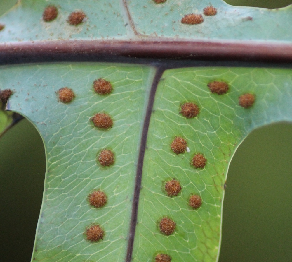 Fern sporangia close up (Photo credit: Andy Winfield)