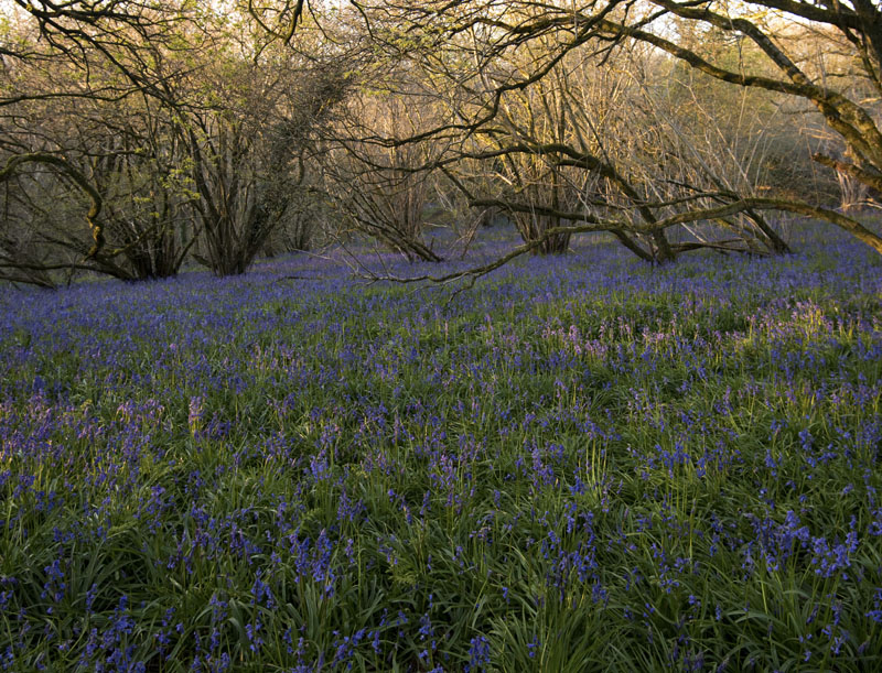 My local woodland at dawn