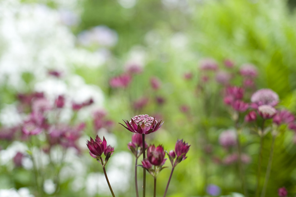 The very adaptable  Astrantia  'Gill Richardson'