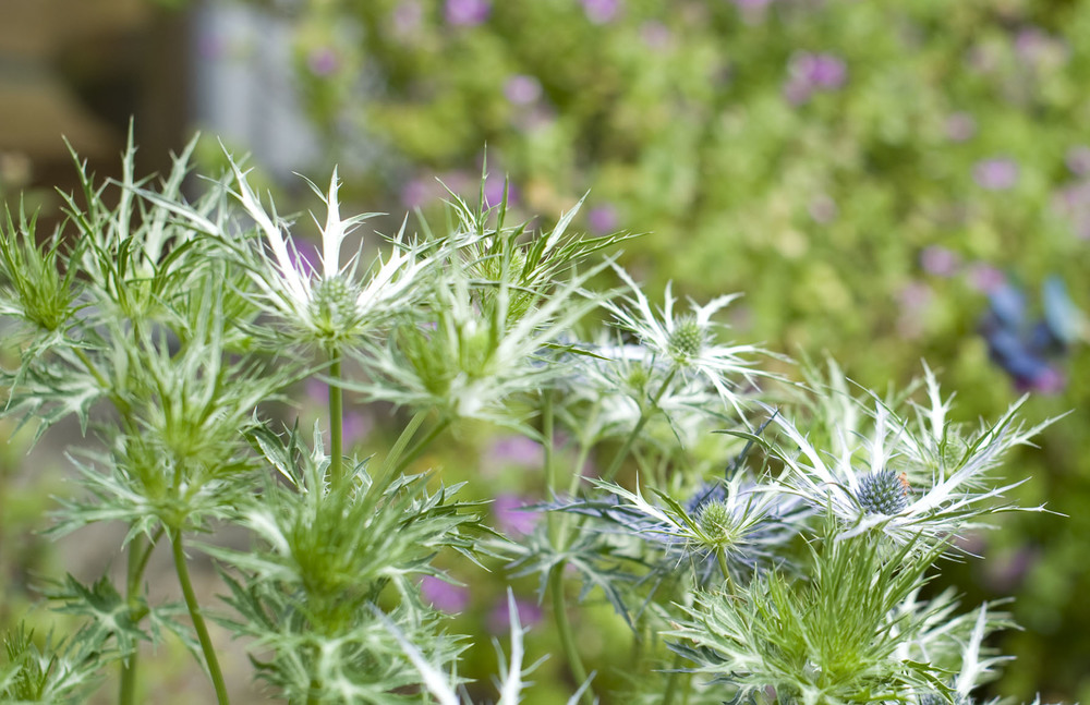 The spiny  Eryngium bougatii  'Graham Stuart Thomas's selection (GST)