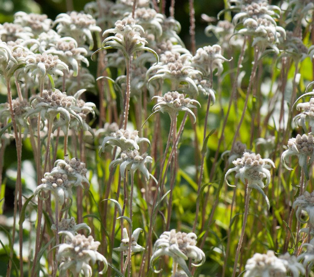 Leontopodium souliei  'Compactum' growing in Gothenburg Botanic Gardens