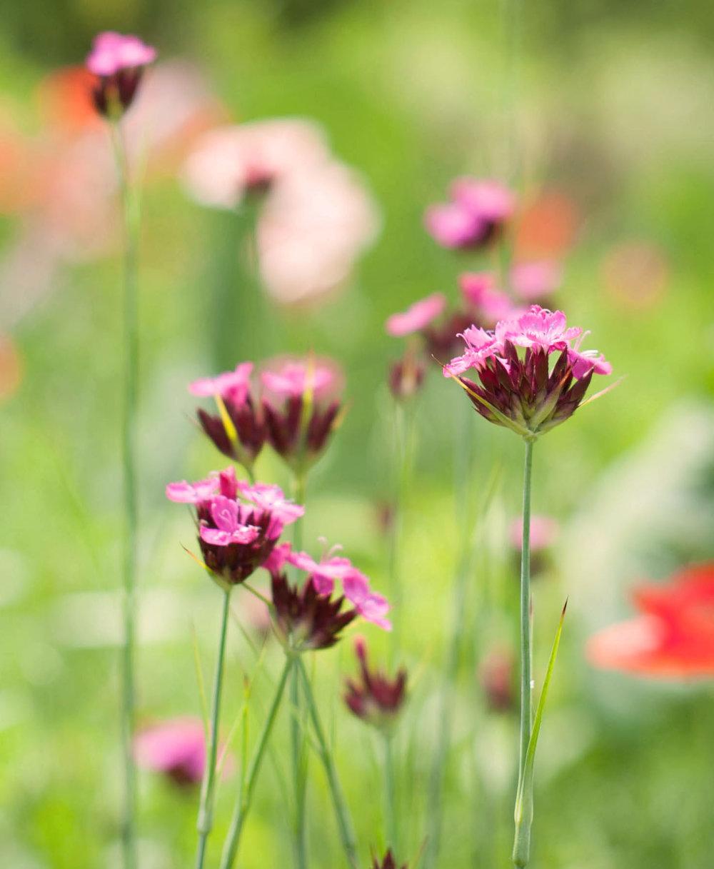 Vibrant  Dianthus carthusianorum