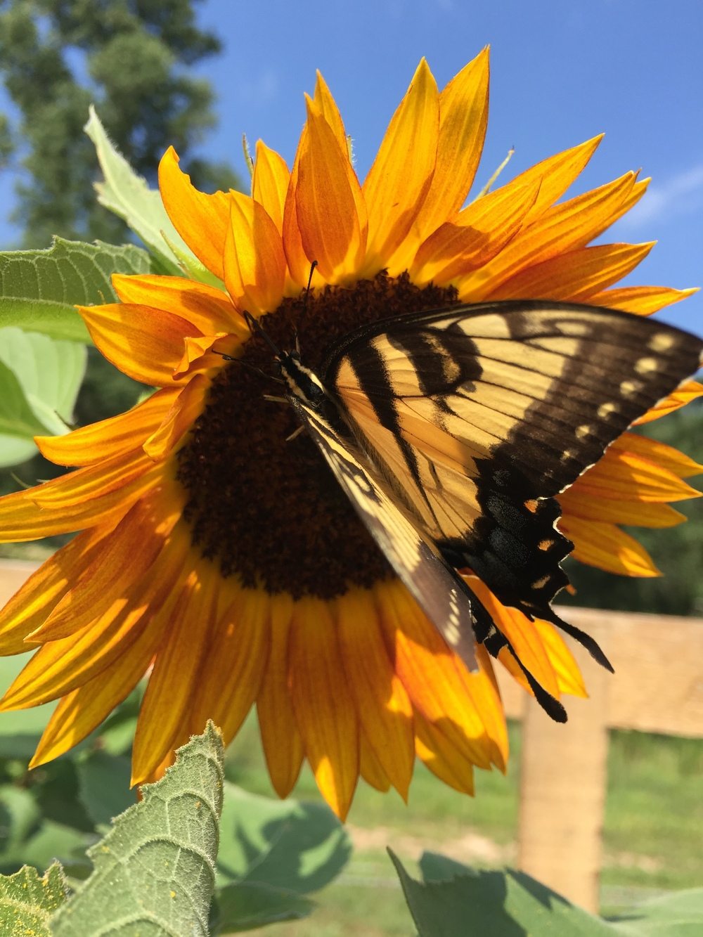 The butterflies loved all the sunflowers last year!