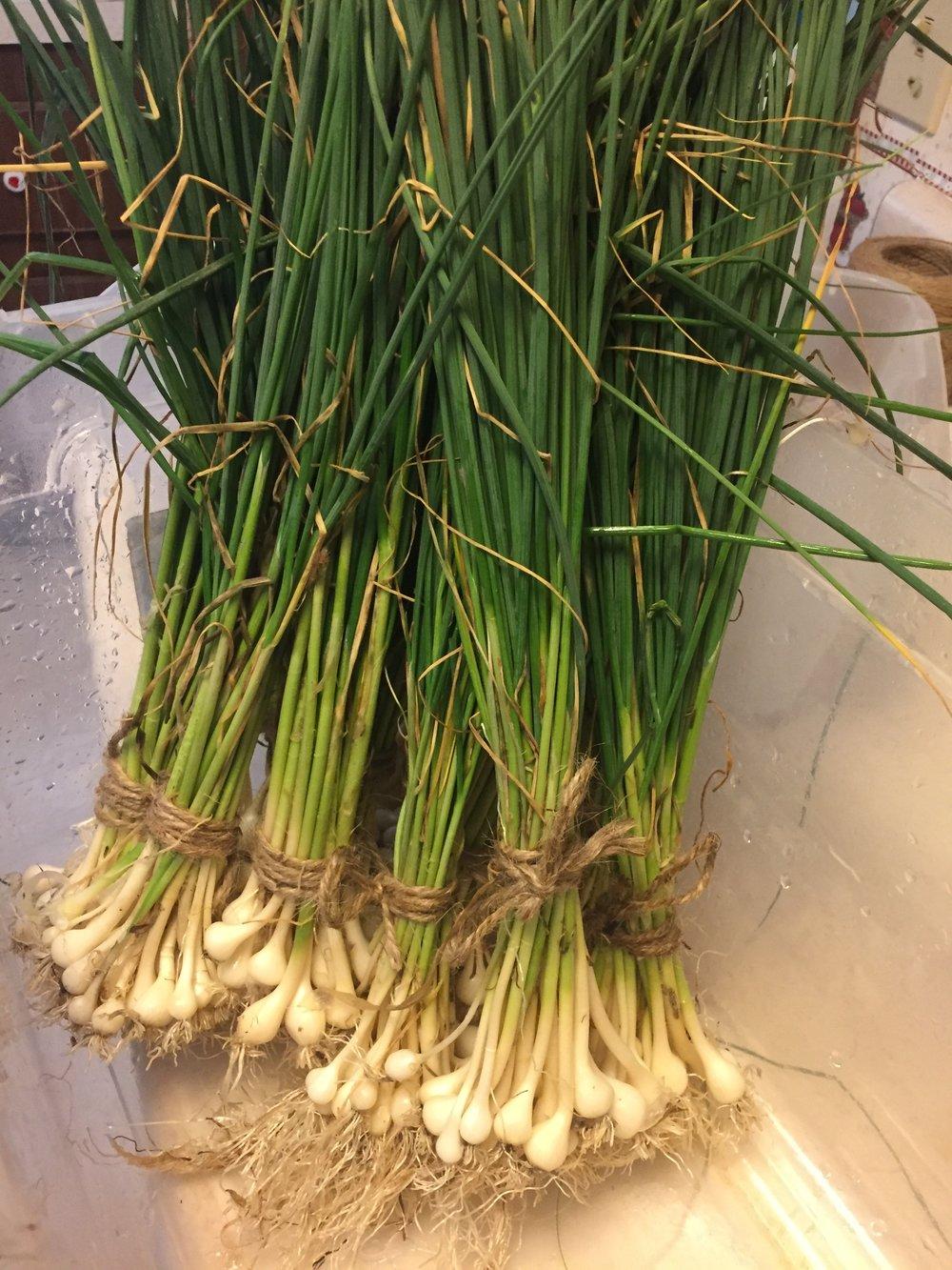 Wild Spring onions!