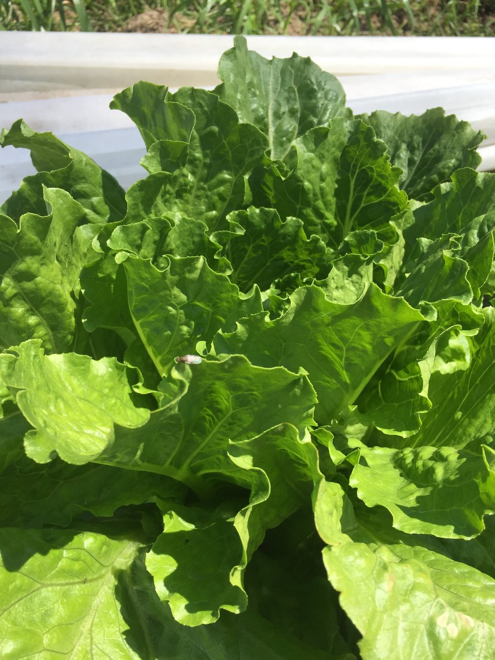 Romaine Lettuce (no charge for the bug) :)