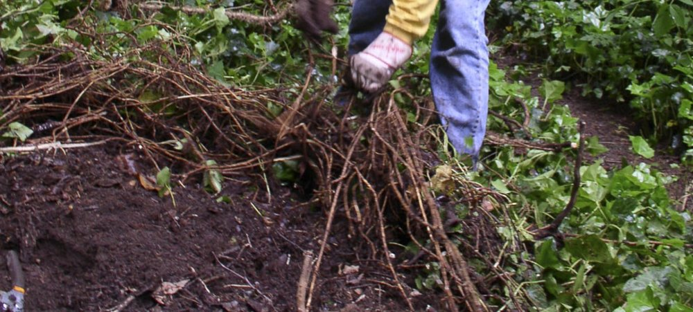 Removal of above-ground ivy cover