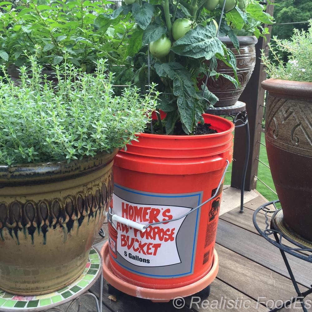 Tomato Plant 30 07082016.jpg