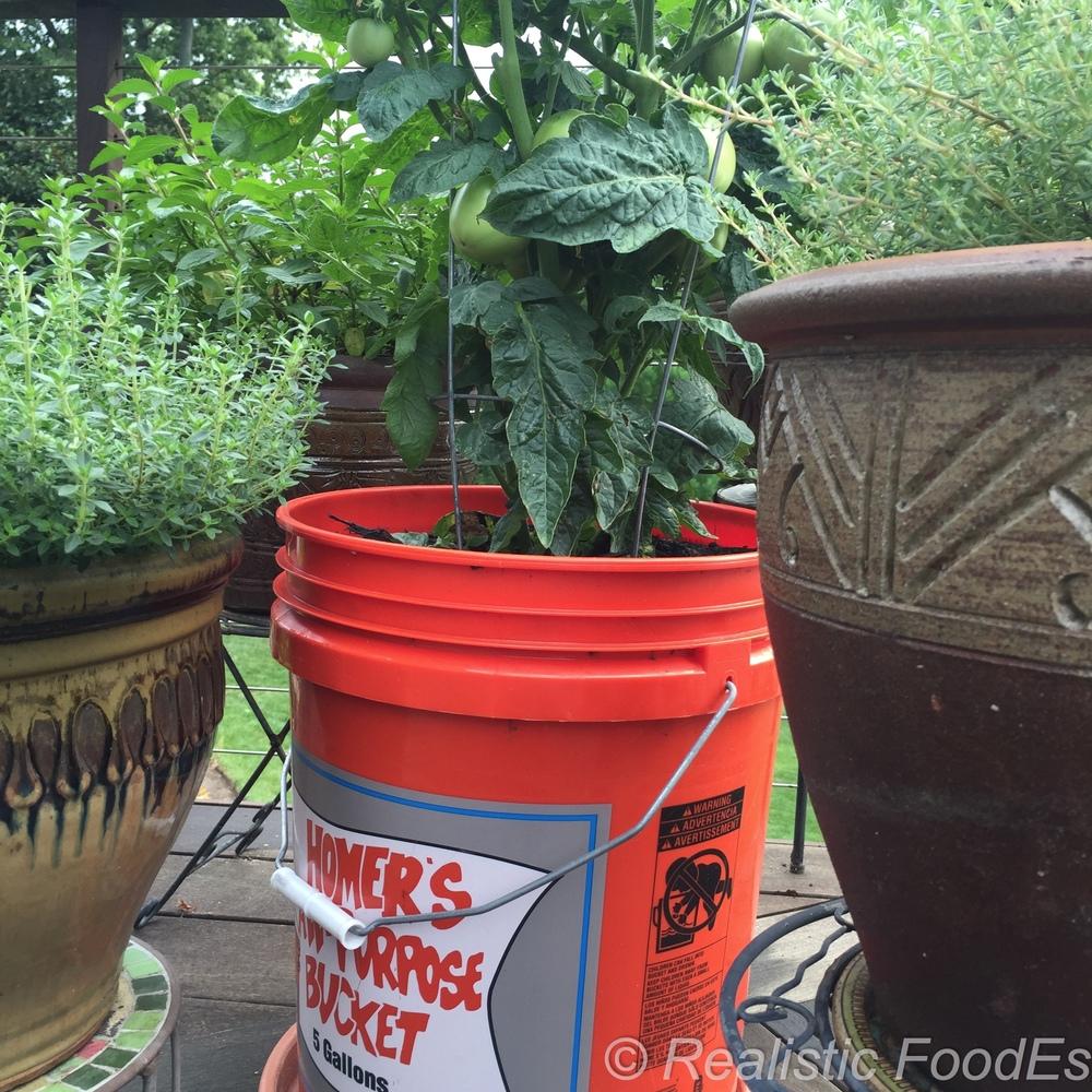 Tomato Plant 31 07082016.jpg