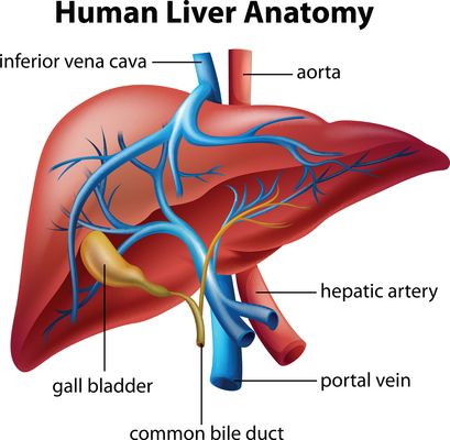 Liver - Anatomy (Med).jpg