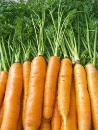 Carrots Beautiful Bunch (Med).jpg