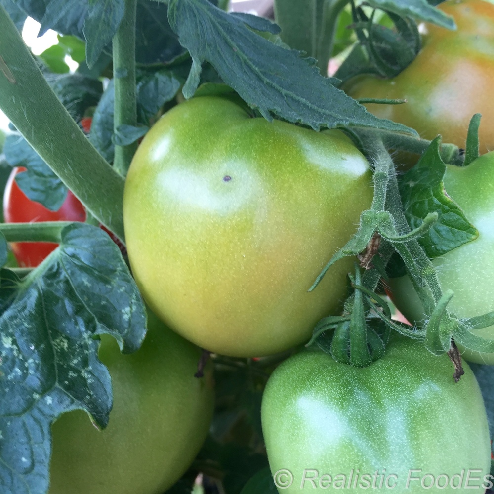 First Ripe Tomatoes 05 07252016.jpg