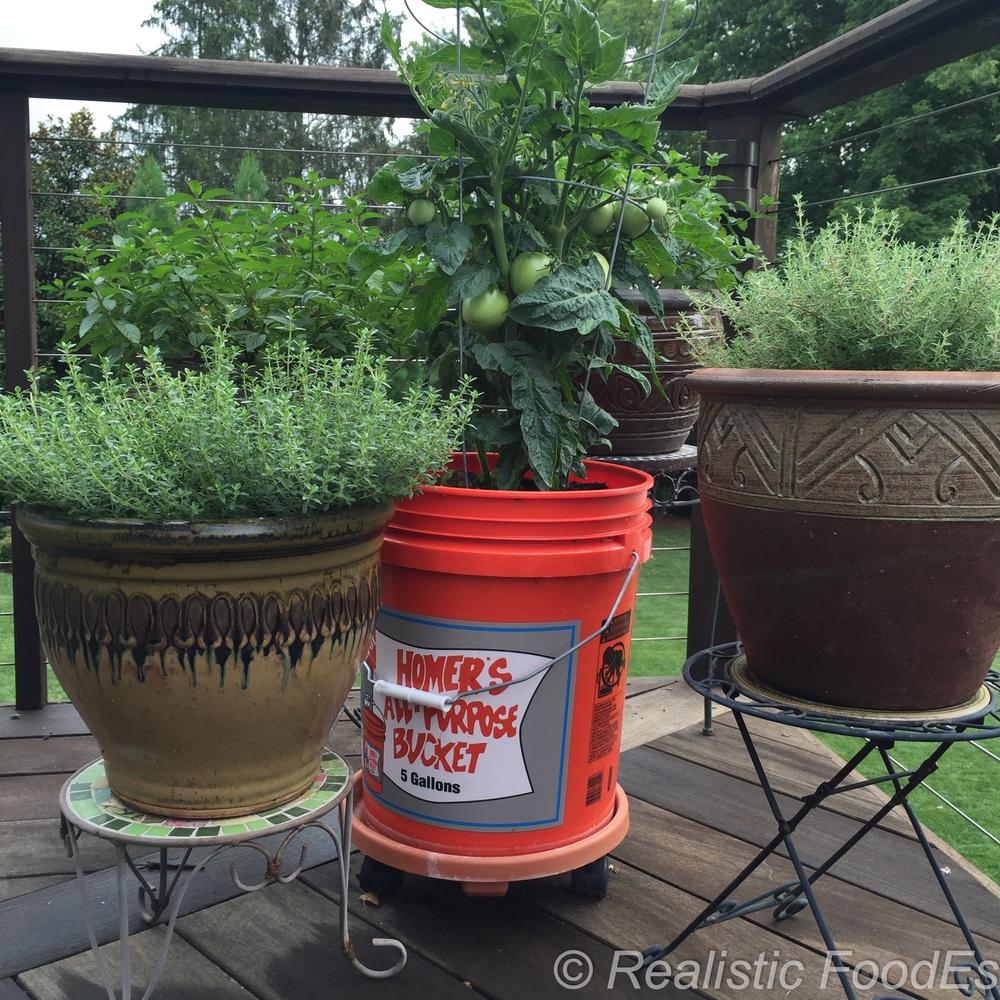 Tomato Plant 34 07082016.jpg