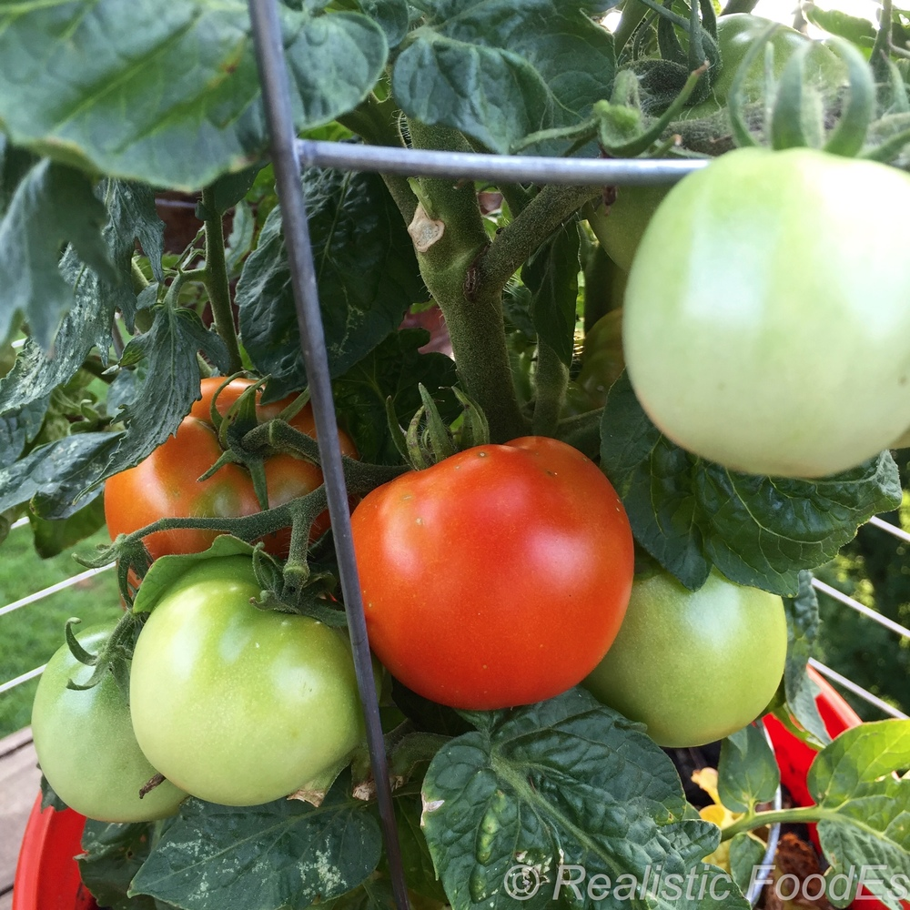 First Tomatoes 03 07282016.jpg