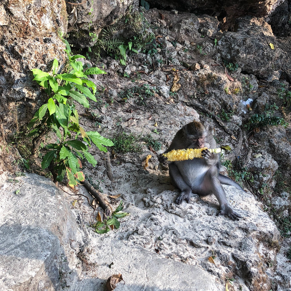 My new monkey friend enjoying some corn at Padang Padang Beach. These little guys are feisty!