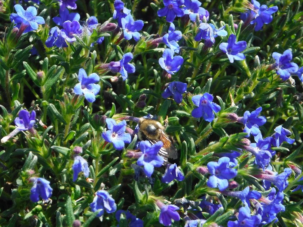 A pollinator working hard in the Pollinator Flower Garden