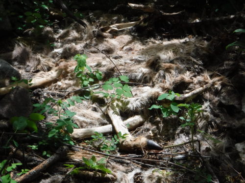 Deer carcass left by a hungry cougar during the winter.