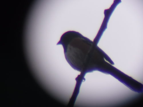 Spotted Towhee through spotting scope.