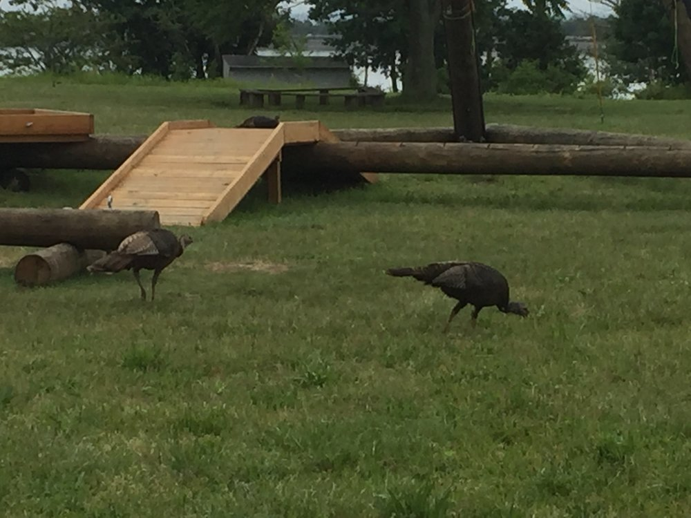 Turkeys at the tower!