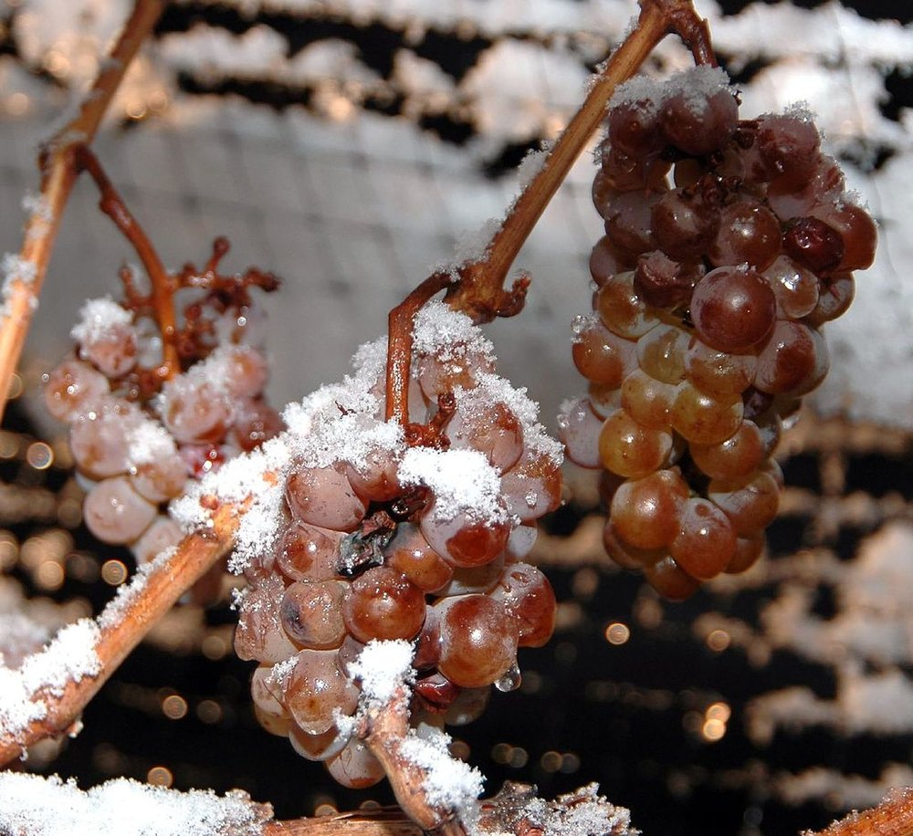 Frozen grapes used to make Ice Wine. Photo taken by Dominic Rivard from Bangkok, Thailand.