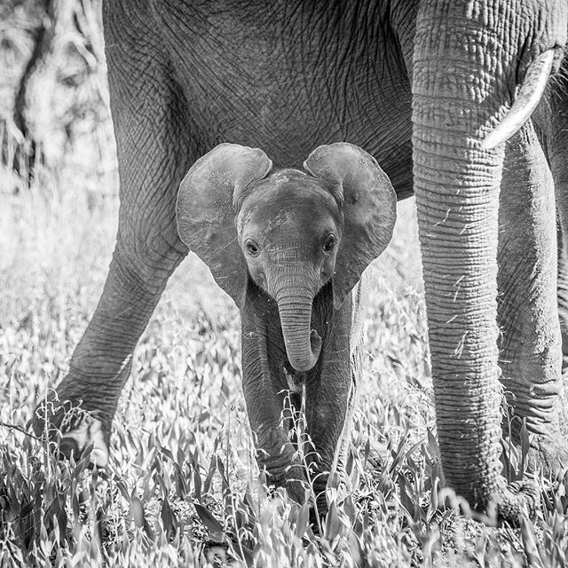 How cute ?  It is quite challenging to get a clear shot of #babyelephants because their mothers are very protective and they usually hide behind their legs. But this little one came out for a couple of secs so I could see his little face. #krugernationalpark #elephant #bushveld #southafrica @sanparks