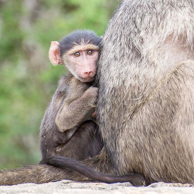 Safe and sound behind mom's back.. #krugernationalpark #babybaboon