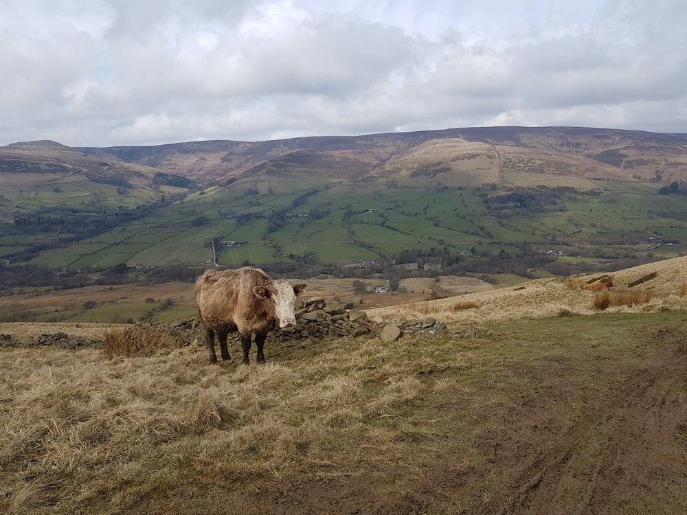A cow just after the summit on Mam Tor, Peak District - Dark Peak