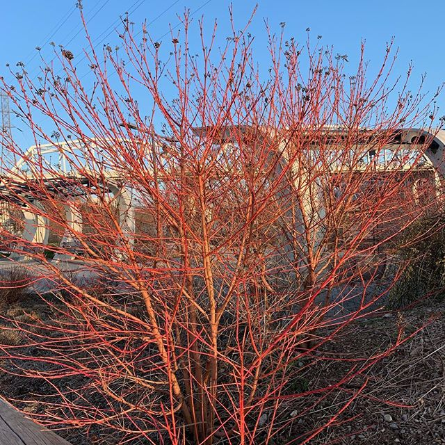 A little midwinter fire in this Nashville dogwood. #musiccity #hortlife