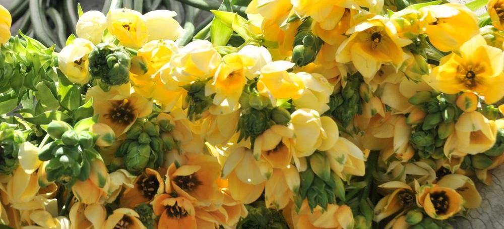 Ornithogalum dubium:  The Wonder Flower
