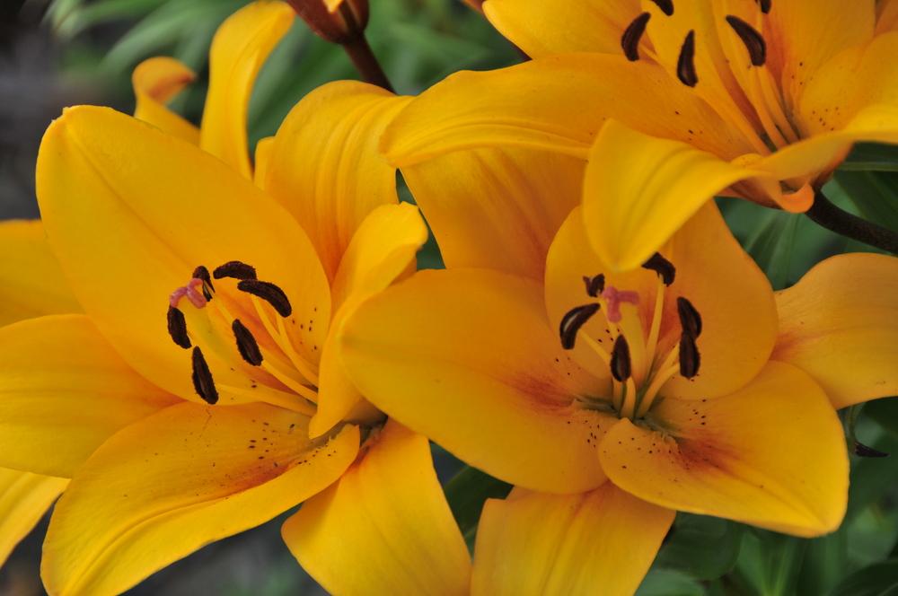 Yellow LA Hybrid Lilies