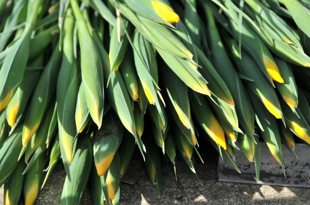 Yellow Iris tips