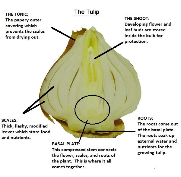"""Parts of a """"true bulb"""""""