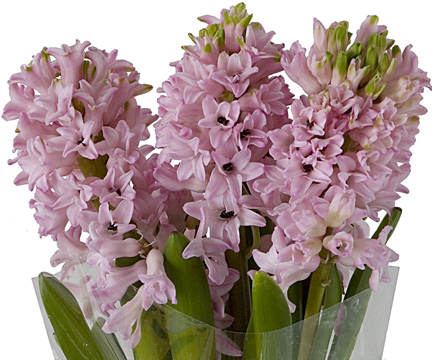 hyacinth-bloom-expert.jpg