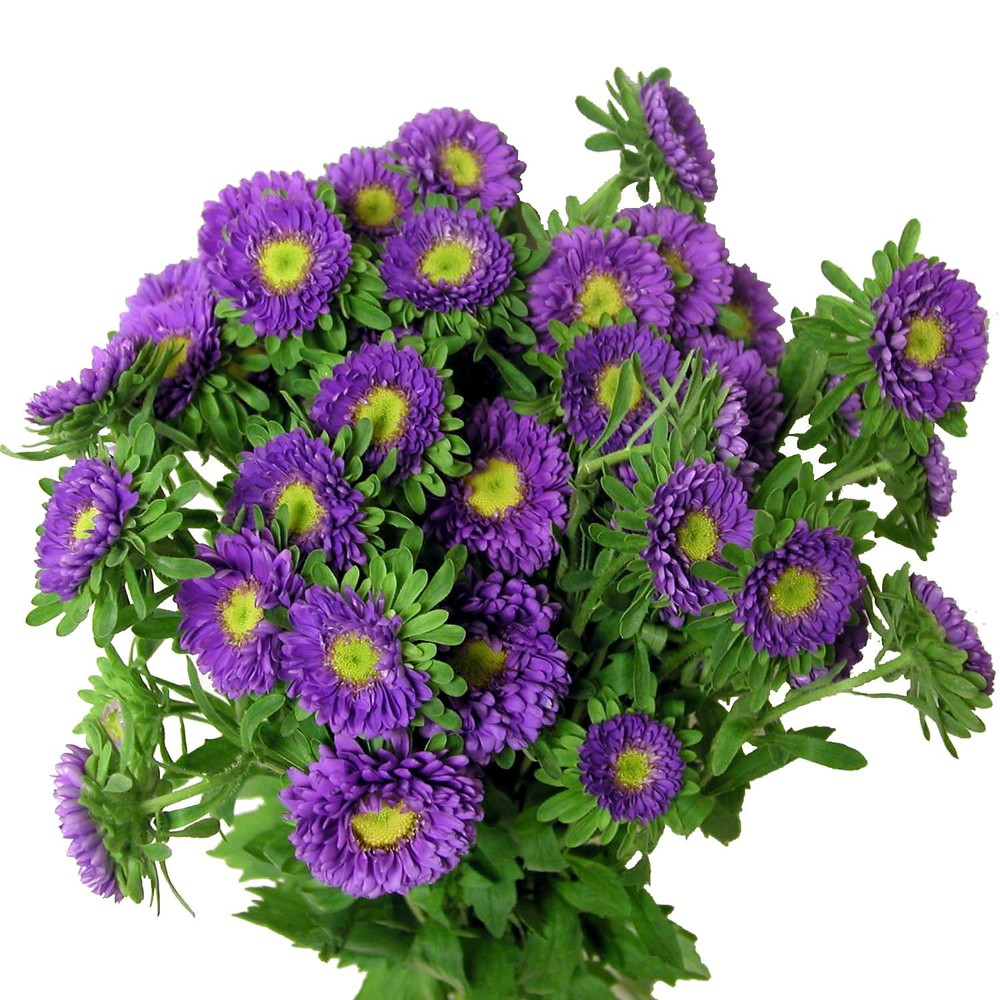purple matsumoto asters