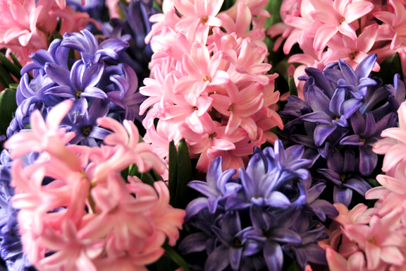 "Purple ""Atlantic"" and Pink ""Ann Marie"" Hyacinth varieties"