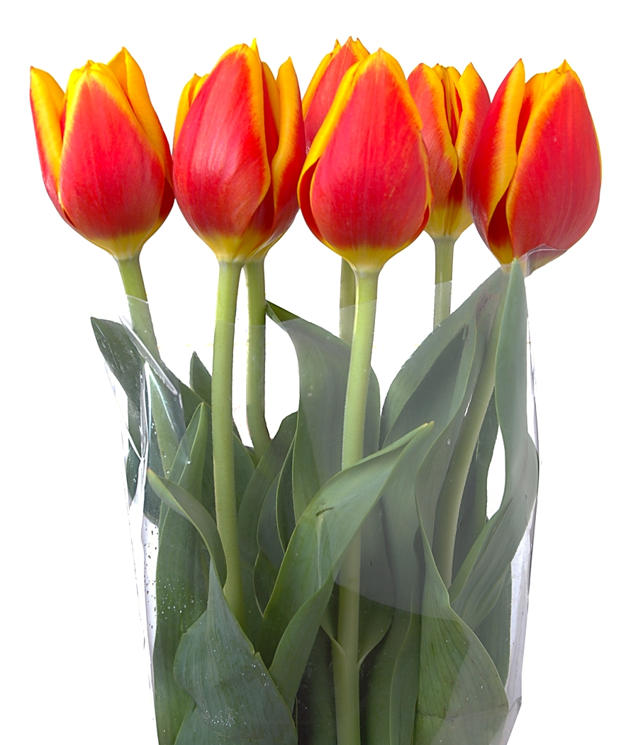 bloom expert tulips